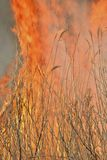 Flame of brushfire 28. A close up of the flame of brushfire in reed royalty free stock photo