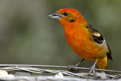 Flame-colored Tanager (male) 1. Male Flame-colored Tanager eating rice from a famous feeder in Costa Rica, 2013 Royalty Free Stock Images