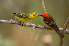 Flame-colored Tanager. Male feeding a female flame-colored tanager in Costa Rica stock photography