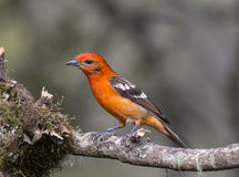 Flame-colored Tanager Male. Male Flame-colored Tanager perched on a branch Stock Images