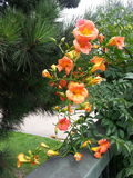 Flame-coloured Flowers. Striking flame-coloured flowers royalty free stock photography