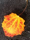 Flame coloured leaf Royalty Free Stock Images