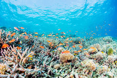 Flame fairly basslet and coral garden. School of Fairy Basslets swimming at Miyakojima-island Royalty Free Stock Photos
