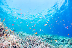 Flame fairly basslet. School of Fairy Basslets swimming at Miyakojima-island Stock Images