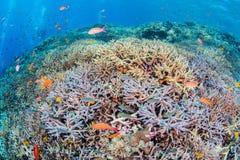 Flame fairly basslet. School of Fairy Basslets swimming at Miyakojima-island Stock Image