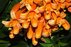 Flame flower or Fire-cracker vine. Fresh and beautiful orange trumpet , Flame flower or Fire-cracker vine Stock Image