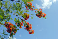 Flame of the forest. Tree Latin name Delonix regia Stock Photo