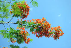 Flame of the forest. Tree Latin name Delonix regia Royalty Free Stock Photography