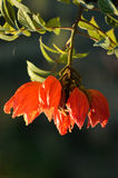 Flame of the forest,African Tulip Tree Royalty Free Stock Photo