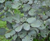 Flame of the Forest/ Bastard Teak/Parrot Tree(Butea monosperma) Leaves Stock Image