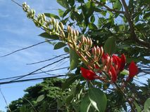 Flame of the Forest Butea Monosperma. Popular decorative tree of South East Aisa royalty free stock images