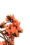 Flame of the forest,Butea monosperma O Ktze, Leguminosae-Papilio Royalty Free Stock Image