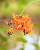 Flame of the forest,Butea monosperma O.Ktze, Leguminosae-Papilio Stock Image