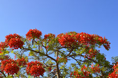 Flame of the forest tree flowers Royalty Free Stock Photos