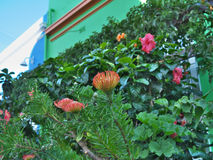 Flame Giant(Leucospermum) at Malay Quarters or Bo-Kaap. Cape Town, South Africa-August 15, 2016:The Bo-Kaap is an area of Cape Town, South Africa formerly known stock images