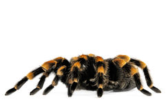 Flame Knee Tarantula Royalty Free Stock Photos