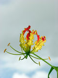 Flame Lily Royalty Free Stock Photo