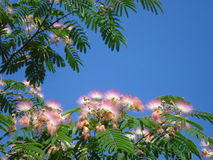 Flame mimosa tree. Albizia julibrissin, called flame mimosa or Persian silk tree, is an asian tree, used in other regions as an ornamental plant in gardens and stock images