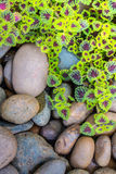 The flame nettle (coleus) leaves and pebbles background Stock Photos