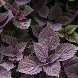 Flame nettle leaves. Decoration in the garden royalty free stock photography