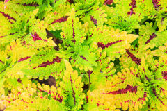 Flame nettle plant Stock Photos