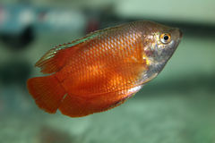 Flame red Dwarf Gourami aquarium fish Stock Photography