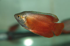Flame red Dwarf Gourami aquarium fish Royalty Free Stock Photo