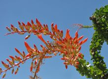 Flame red ocotillo blooms bursting from lush green branch. Brilliant ocotillo flowers and green leaves stand out against a clear blue sky at Anza Borrego Desert royalty free stock image