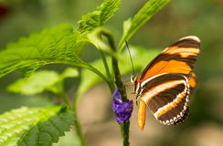 Flame Red Tiger Butterfly on flower Royalty Free Stock Photo