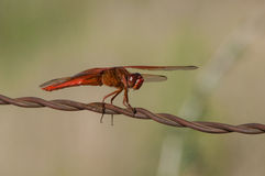 Flame Skimmer Royalty Free Stock Photo
