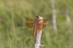 Free Flame Skimmer Dragonfly Stock Photos - 83060973