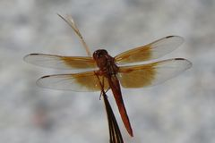 Flame Skimmer. A Flame Skimmer dragonfly at Agua Caliente Park, Tucson, AZ Stock Photo