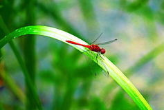 Flame Skimmer Dragonfly Stock Photos