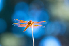 Flame Skimmer Dragonfly Stock Photo