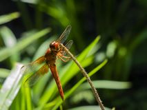 Flame skimmer or firecracker skimmer is perched on a narrow plant stem Stock Photos