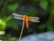 Flame skimmer,  firecracker skimmer is perched with green bokeh background Royalty Free Stock Photos