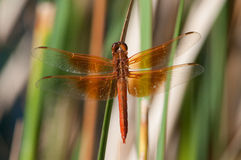 Flame Skimmer Stock Image