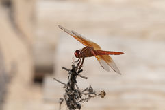 Flame Skimmer libellula saturata Dragon fly over Water Royalty Free Stock Photos