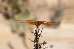 Flame Skimmer libellula saturata Dragon fly over Water Royalty Free Stock Image