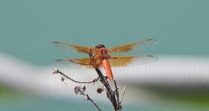 Flame Skimmer libellula saturata Dragon fly over Water stock photos