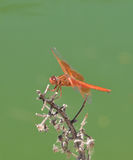 Flame Skimmer libellula saturata Dragon fly over Water Royalty Free Stock Photo
