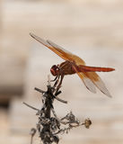 Flame Skimmer libellula saturata Dragon fly over Water Royalty Free Stock Images