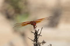 Flame Skimmer libellula saturata Dragon fly over Water Royalty Free Stock Photography
