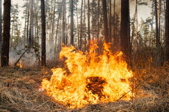 Flame is starting to damage the trunk on forest fire Stock Image