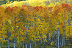 Flame top aspens. Autumn colors in quaking aspens Stock Photography