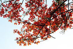 Flame Tree Stock Image