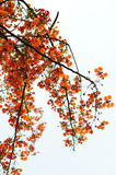 Flame tree Royalty Free Stock Photos