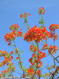 Flame tree. Beautiful blossoming frame tree flowers with blue sky Stock Photo