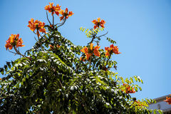 Flame Tree in bloom in  the centre of Funchal on the Island of Madiera Royalty Free Stock Photos