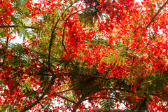 Flame Tree in bloom Stock Photography